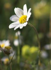 Chamomile Essential Oil How Its Therapeutic Properties
