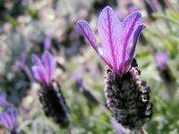 lavenderprofile