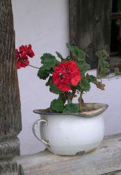 Plante de géranium