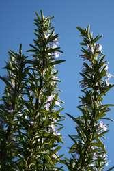 Plante de romarin